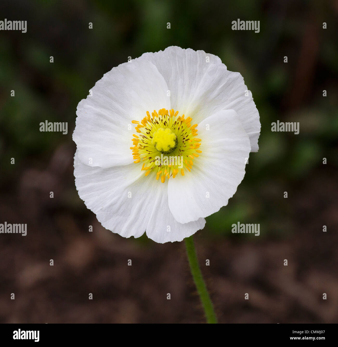 White poppy stock photos white poppy stock images alamy white poppy flower with a yellow center stock image mightylinksfo