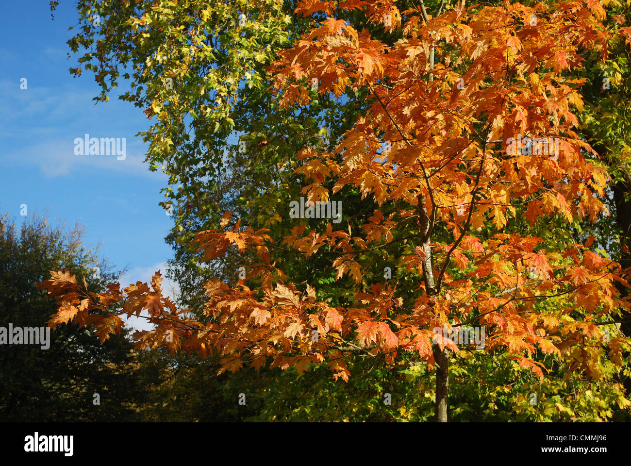 Autumn leaves in the UK - Stock Image
