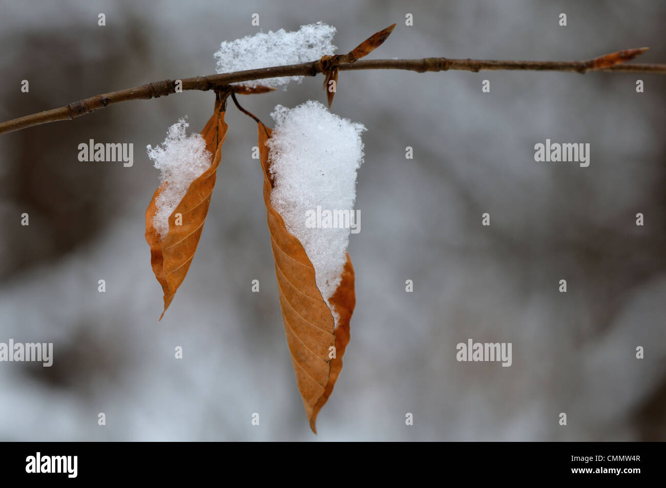 Leaves in the forest  in the winter - Stock Image
