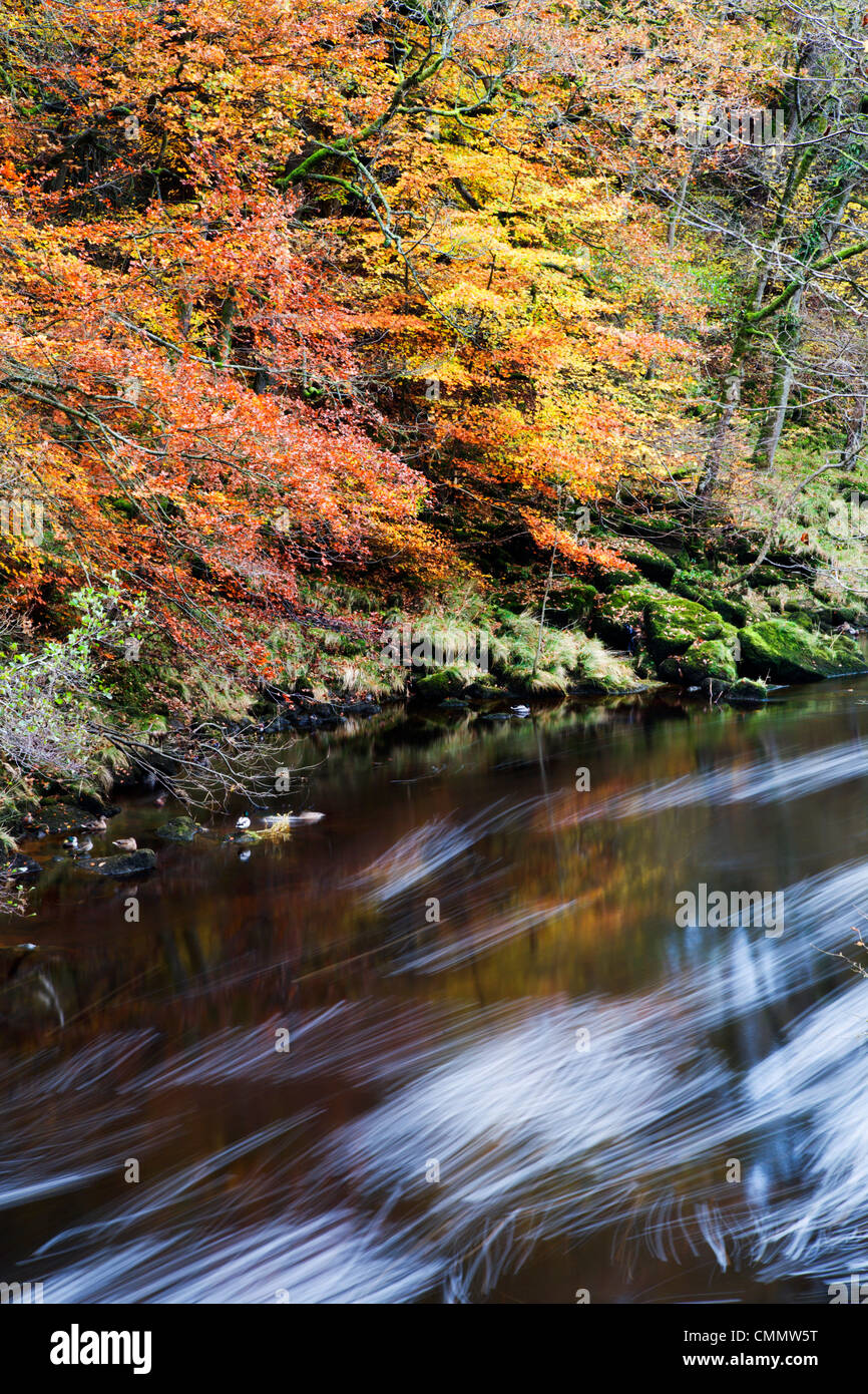 Autumn colours by the River Wharfe in Strid Wood, Bolton Abbey, Yorkshire, England, United Kingdom, Europe - Stock Image