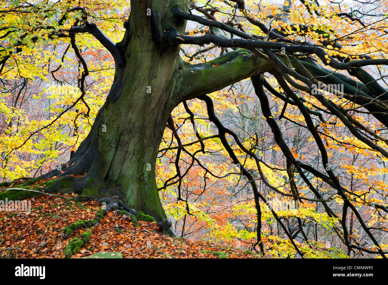 Autumn tree, Bolton Abbey, Yorkshire, England, United Kingdom, Europe - Stock Image