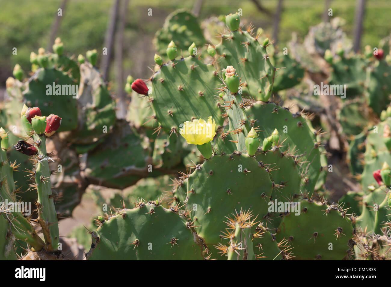 Cactus with flowers, Camaratuba, Paraiba, Brazil, Brasil Stock Photo