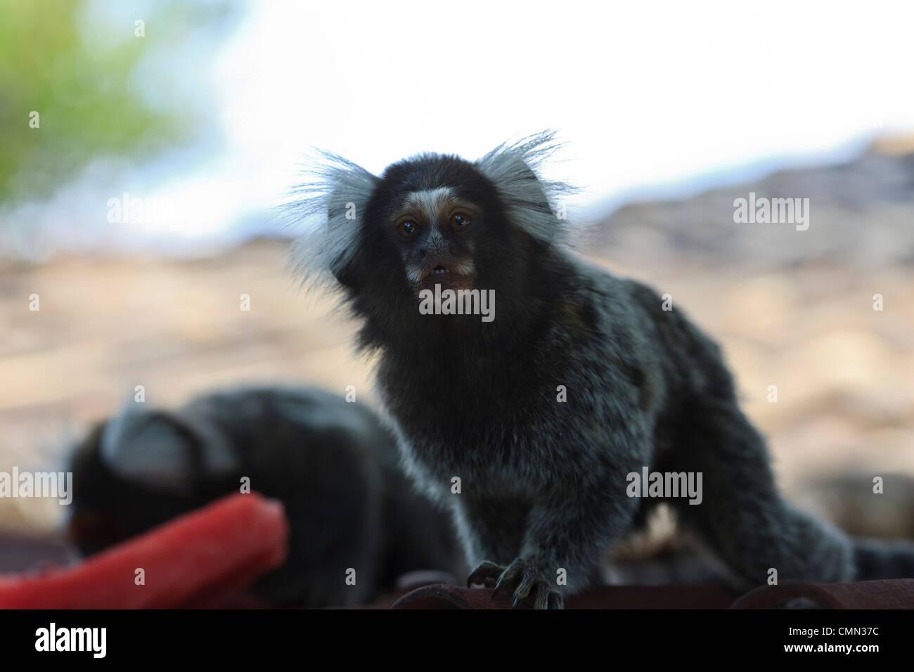 Tree monkey, Soinin, Callitrix jaccus, Marmoset, Tibau do Sul, Rio Grande do Norte, Brazil, Brasil - Stock Image