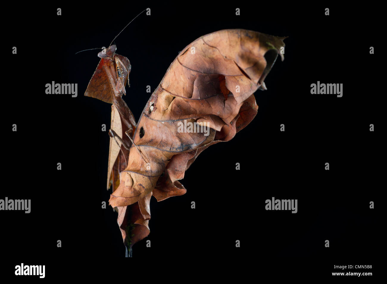 Giant Deaf-Leaf Mantis on dry leaf in the rain forest understorey, near Ginseng Camp, Sabah's 'Lost World', - Stock Image
