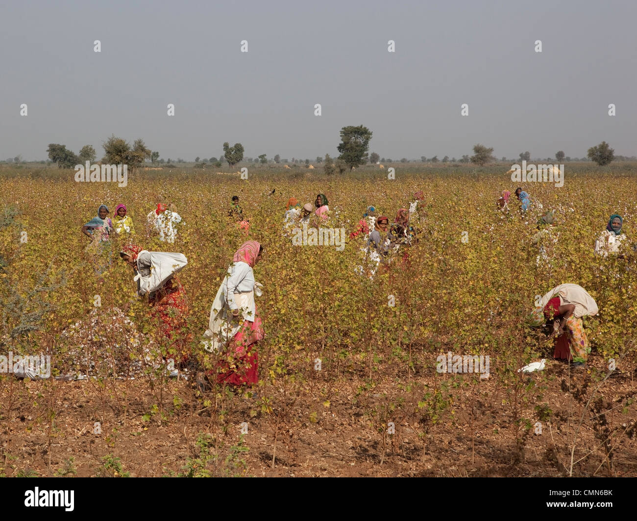 women field workers picking cotton in the arid fields of Gujarat in India - Stock Image