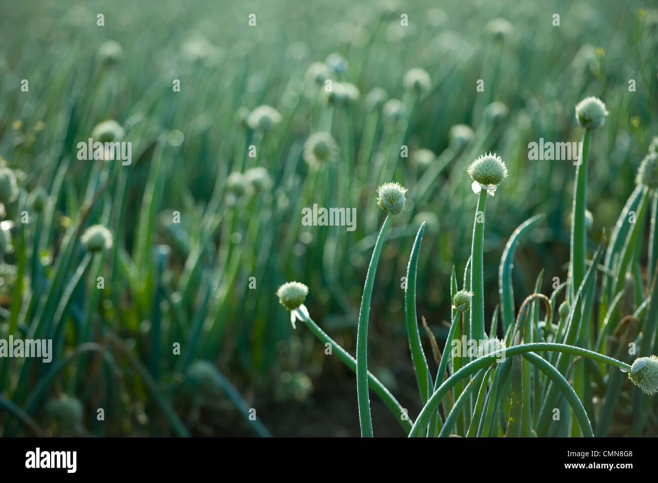 Onions growing in field Stock Photo