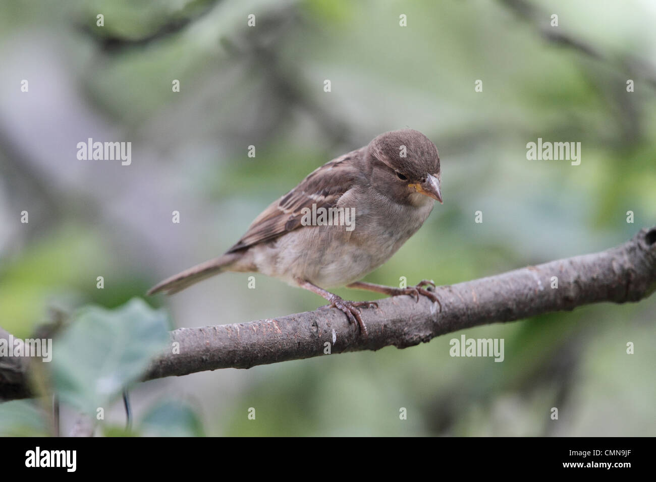 The House Sparrow, Passer domesticus, is a bird of the sparrow family Passeridae, differentiated from the rarer - Stock Image