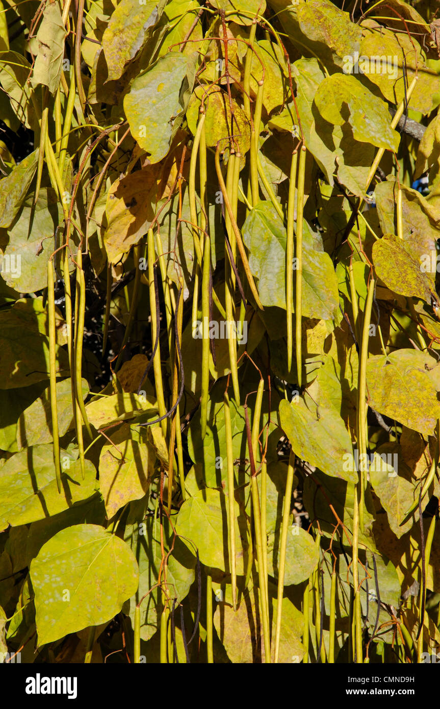 Tree leaves, Igualeja, Serrania de Ronda, Malaga Province, Andalucia, Spain, Western Europe. - Stock Image