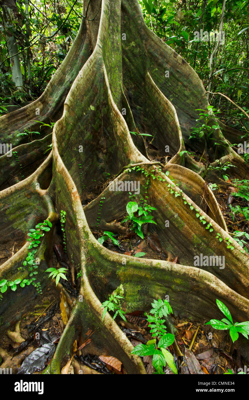Buttress roots of Shorea sp. within lowland Dipterocarp rainforest. Danum Valley, Sabah, Borneo. Stock Photo