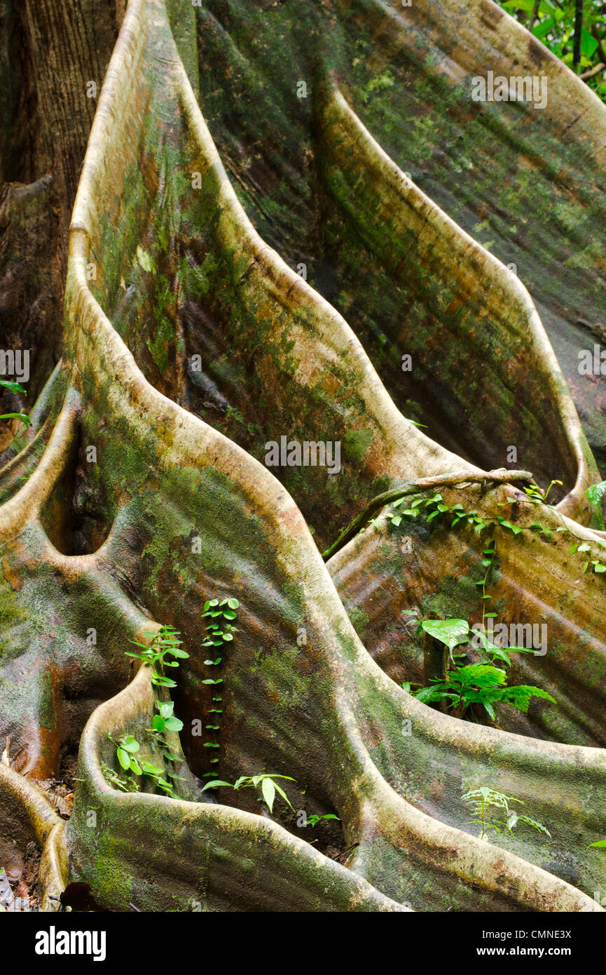 Buttress roots of Shorea sp. within lowland Dipterocarp rainforest. Danum Valley, Sabah, Borneo. - Stock Image