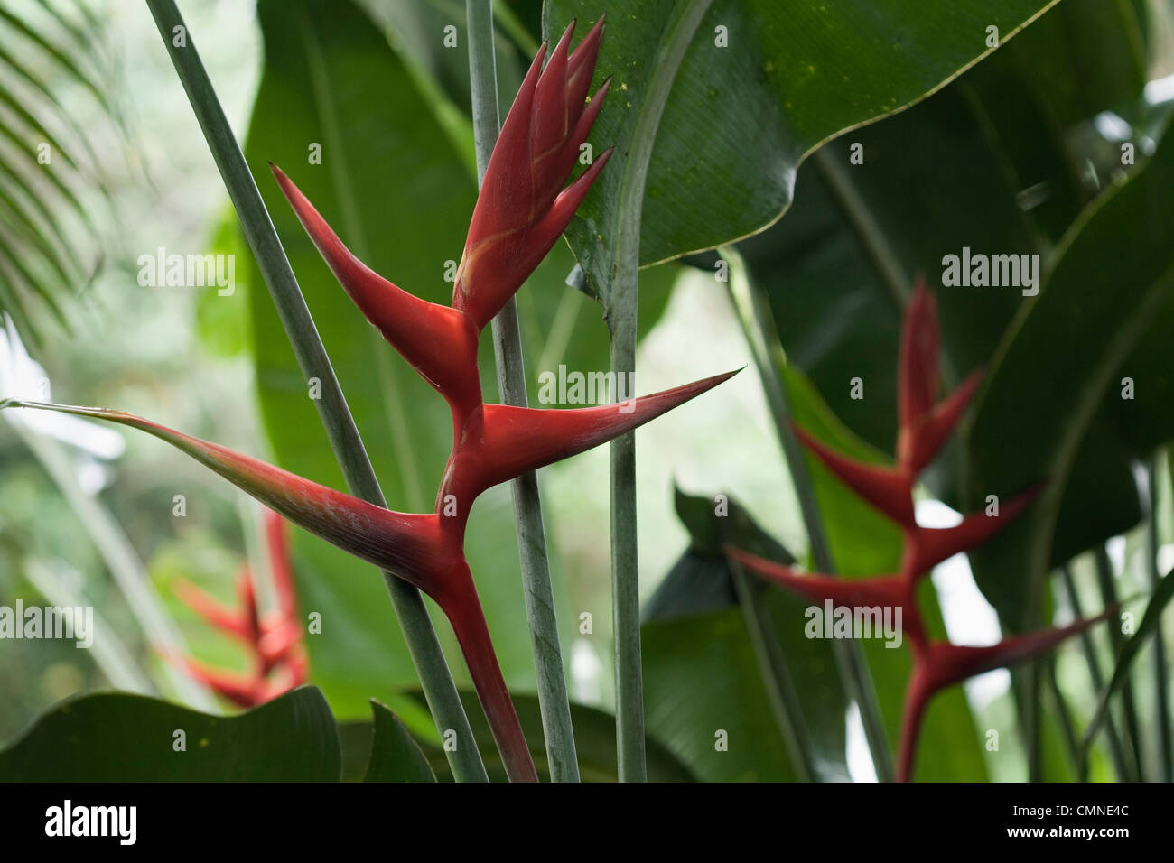 Heliconia bloom at the Daintree Eco Lodge and Spa. Daintree, Queensland, Australia - Stock Image