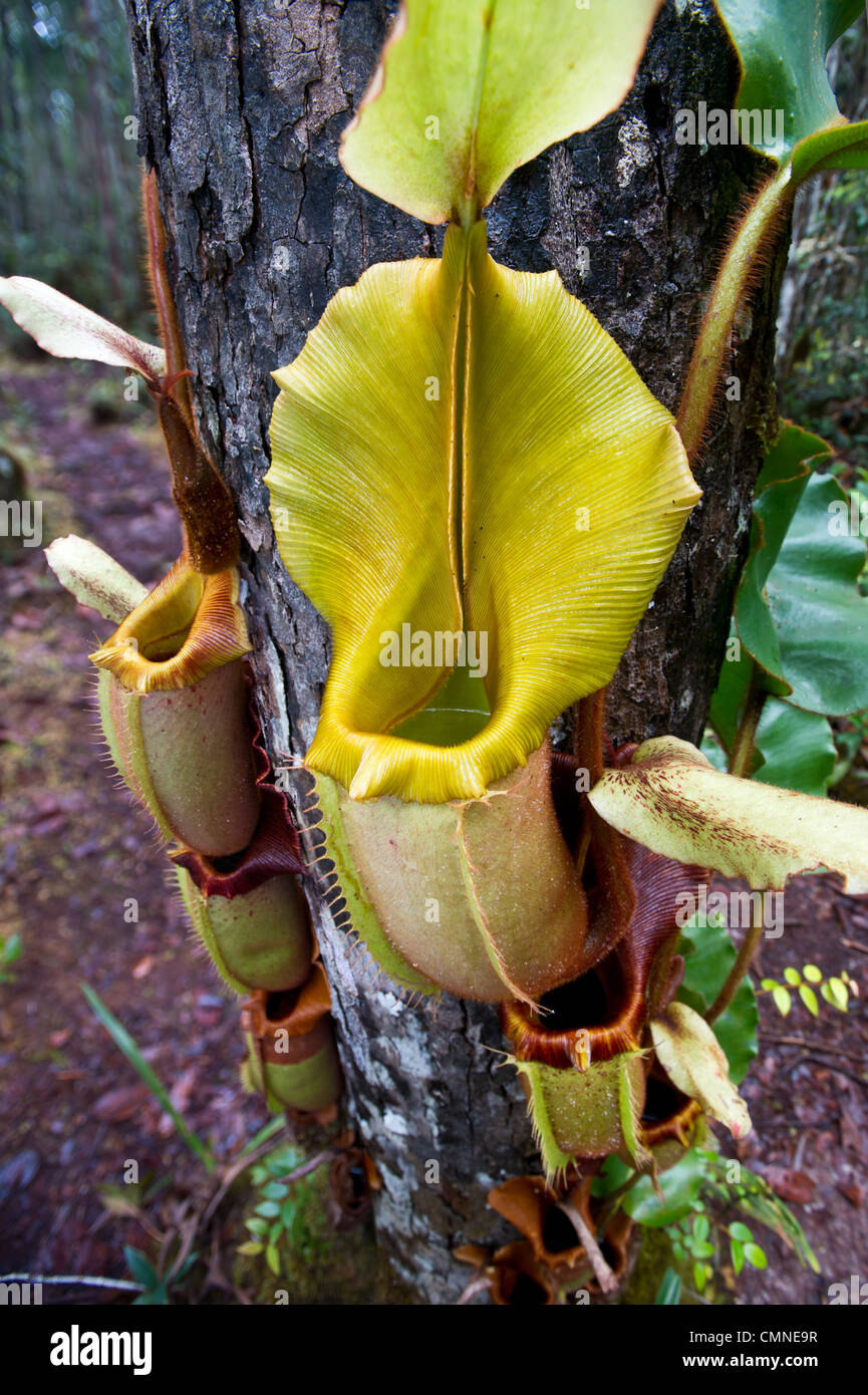 Large aerial pitcher of Pitcher Plant. Montane mossy heath forest (kerangas), Maliau Basin, Sabah's 'Lost - Stock Image