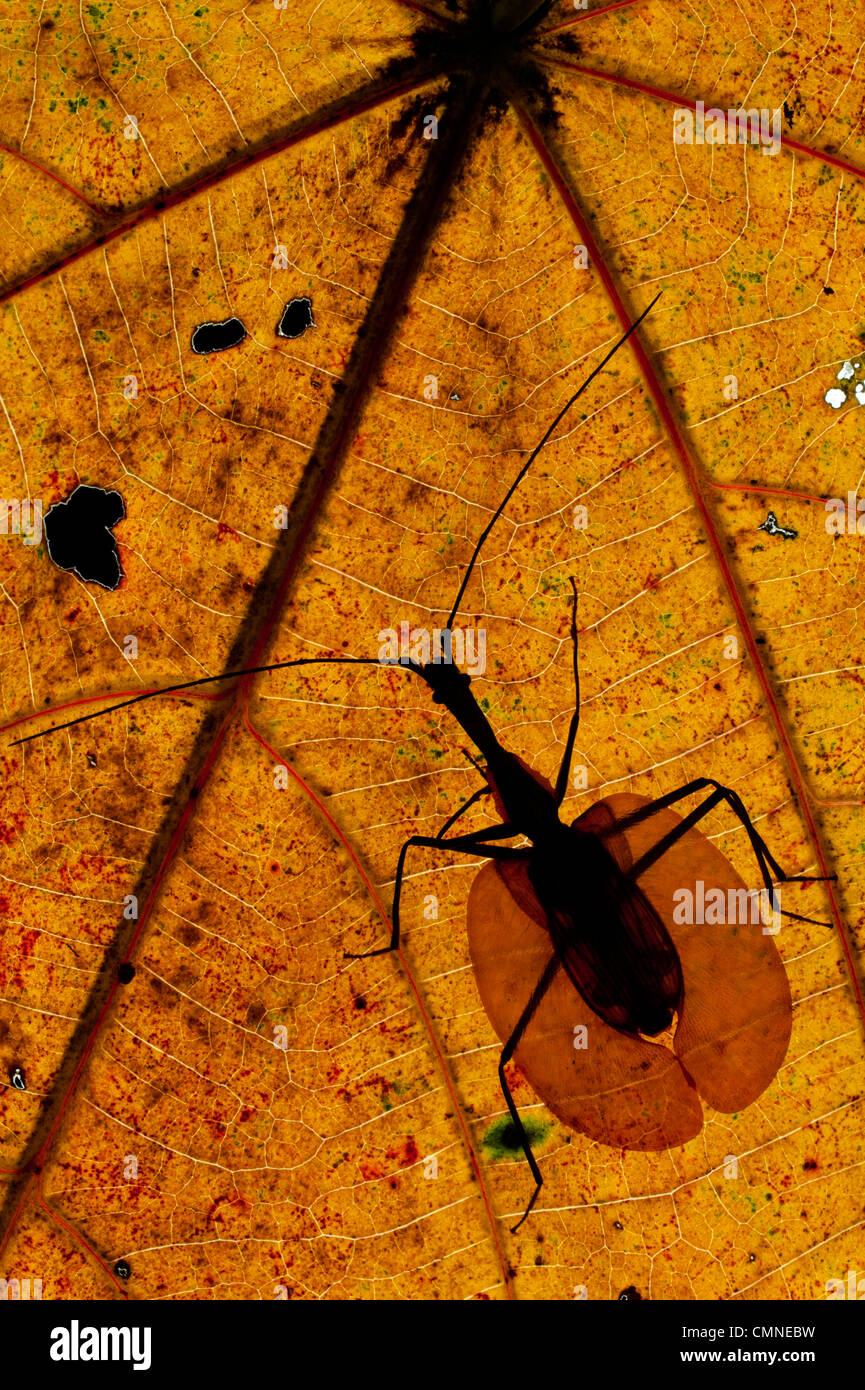 Adult Violin Beetle on decaying leaf on the rain forest floor. Near Ginseng Camp, Sabah's 'Lost World', - Stock Image