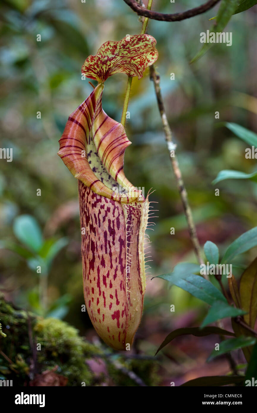 Large aerial pitcher of natural hybrid Pitcher Plant. Montane mossy heath forest (kerangas), Maliau Basin, Borneo - Stock Image