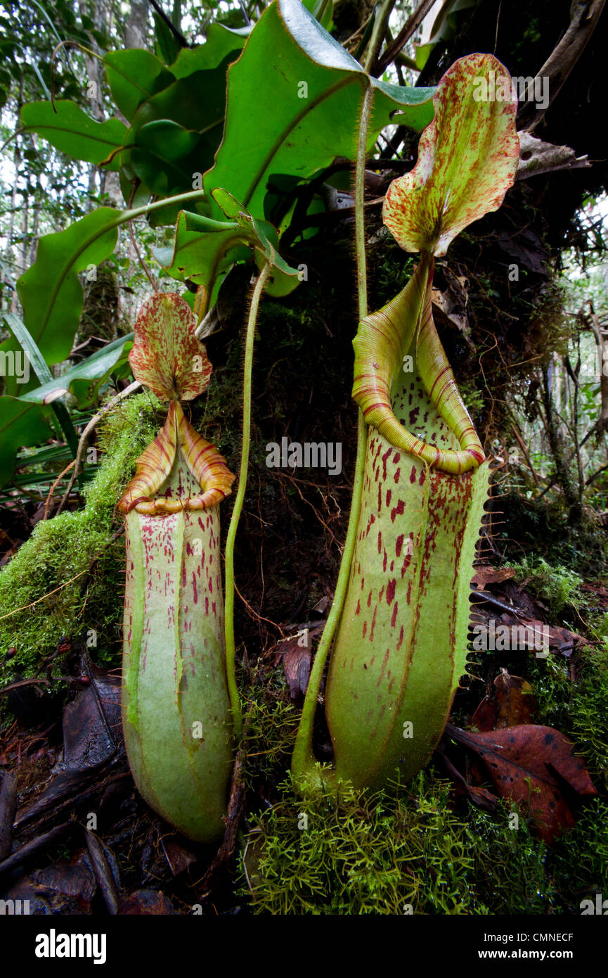 Large pitchers of natural hybrid Pitcher Plant. Montane mossy heath forest (kerangas), southern plateau, Maliau - Stock Image
