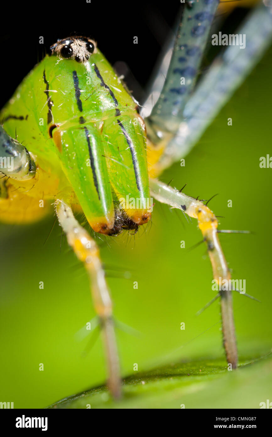 Malagasy green lynx spider (Peucetia madagascariensis). Masoala Peninsula National Park, north east Madagascar. - Stock Image