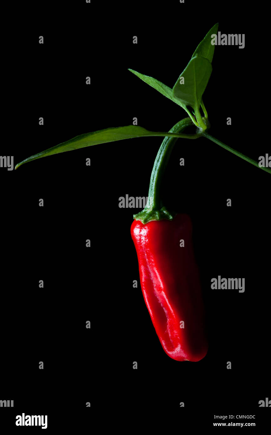 Chilli pepper (Capsicum annuum), developing on plant. - Stock Image