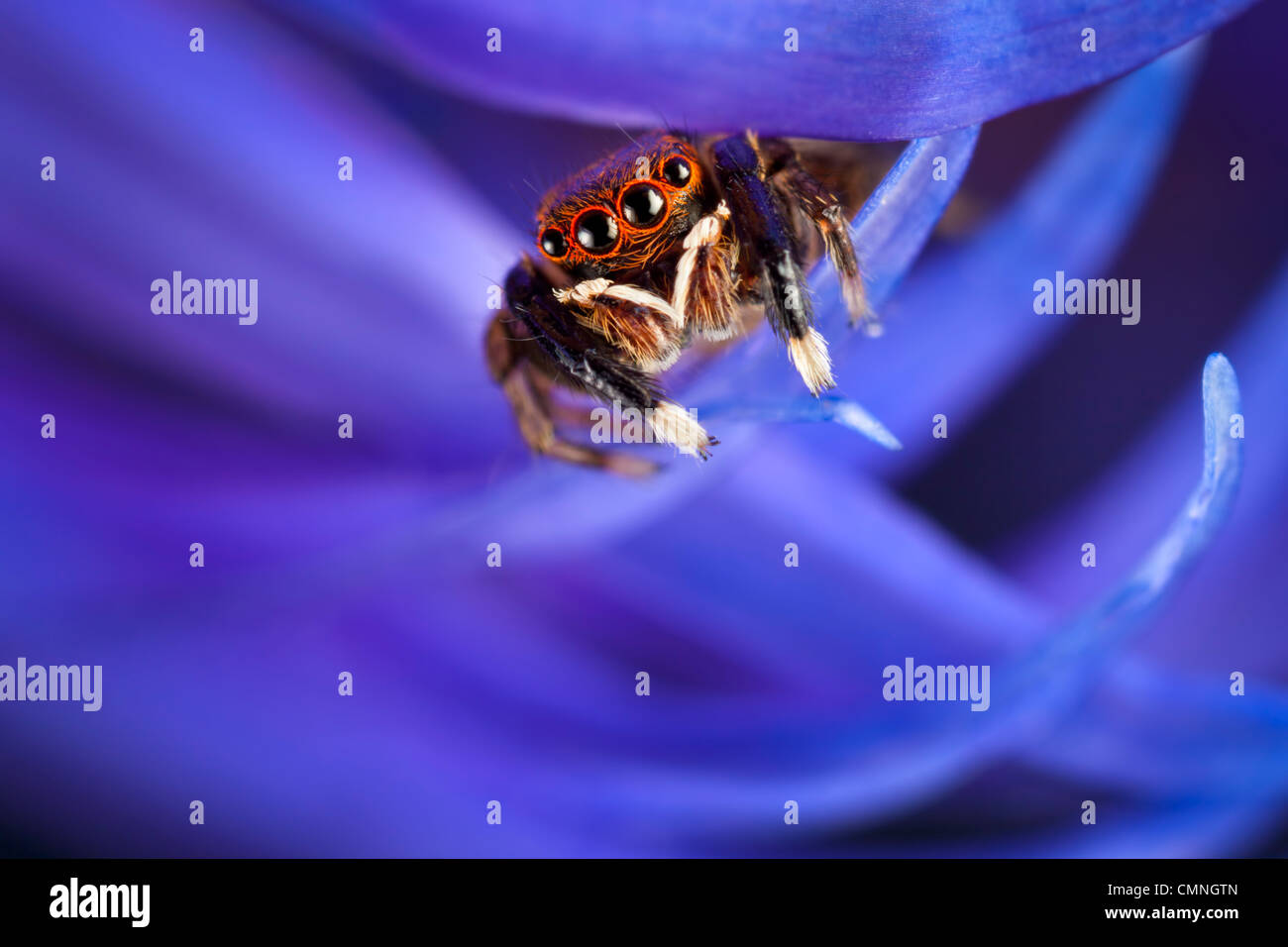 Jumping spider (Euophrys frontalis) male amongst flower petals, Peak District National Park, Derbyshire, UK. June. - Stock Image