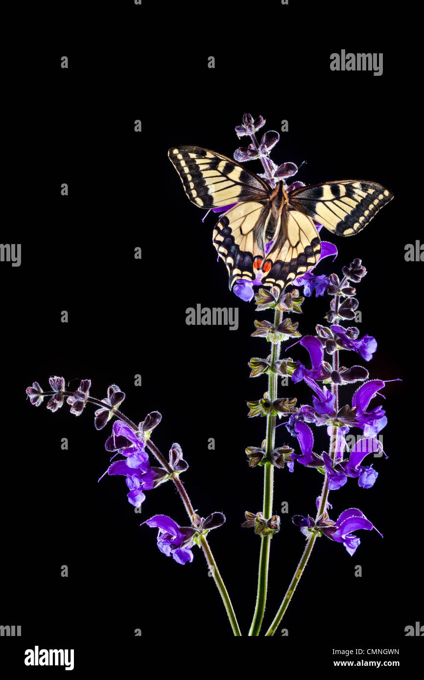 Common Swallowtail butterfly feeding on Meadow Clary flowers, backlit. Nordtirol, Tirol, Austrian Alps, 1700 metres - Stock Image
