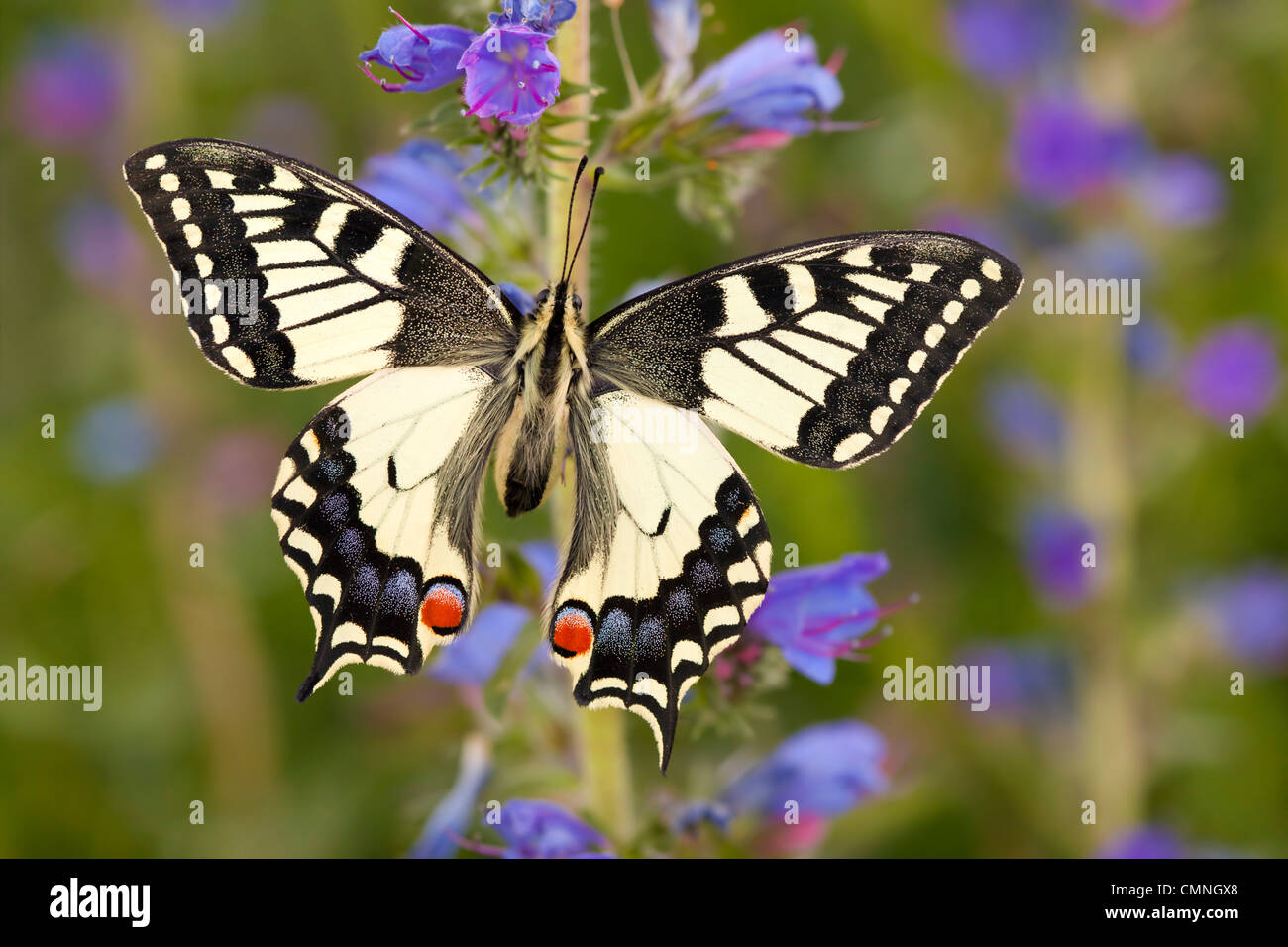 Common Swallowtail butterfly feeding on Viper's Bugloss / Blueweed in alpine meadow. Nordtirol, Tirol, Austrian - Stock Image