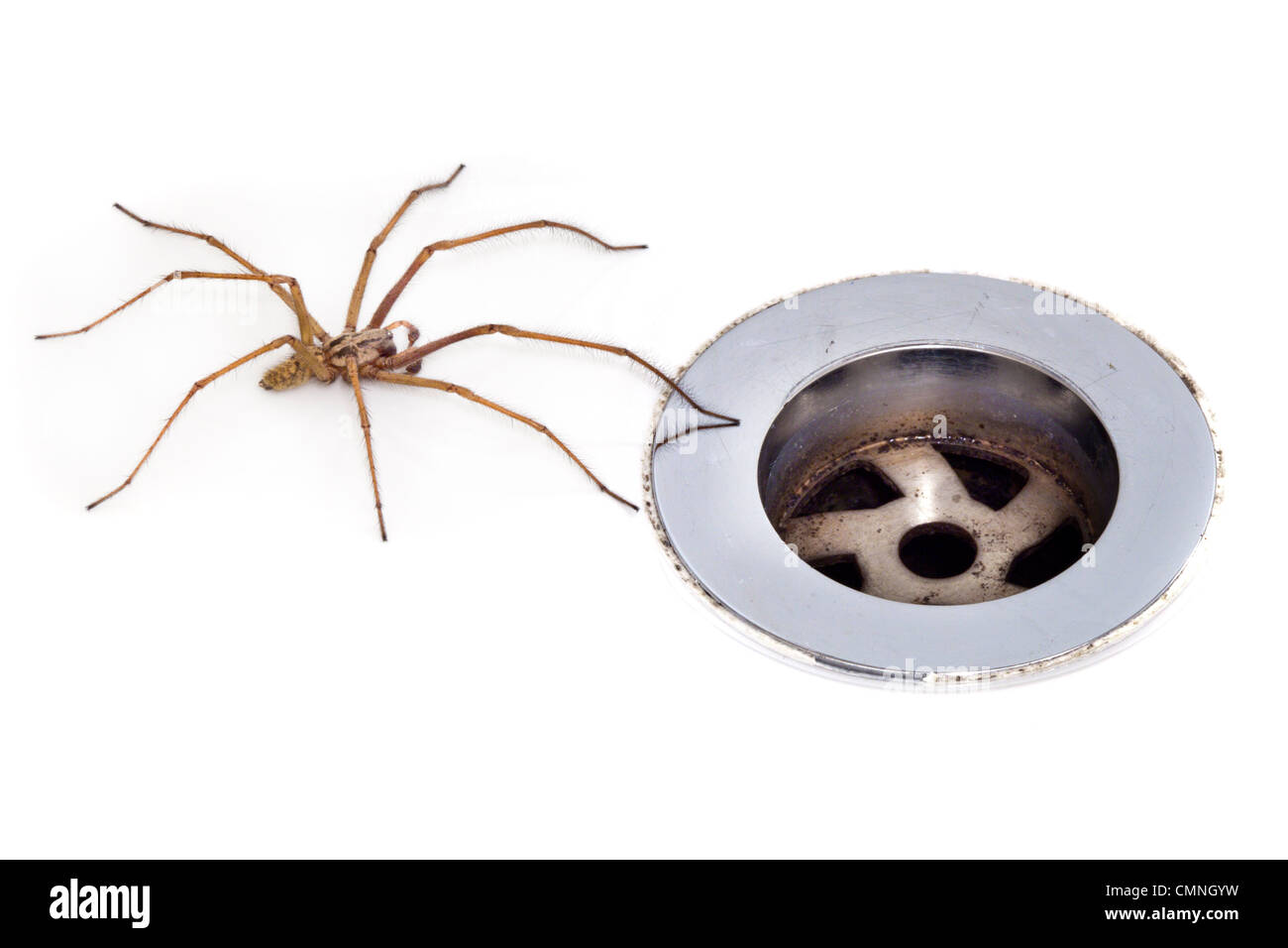 Male House Spider (Tegenaria sp.) next to plug hole, Derbyshire. September. - Stock Image
