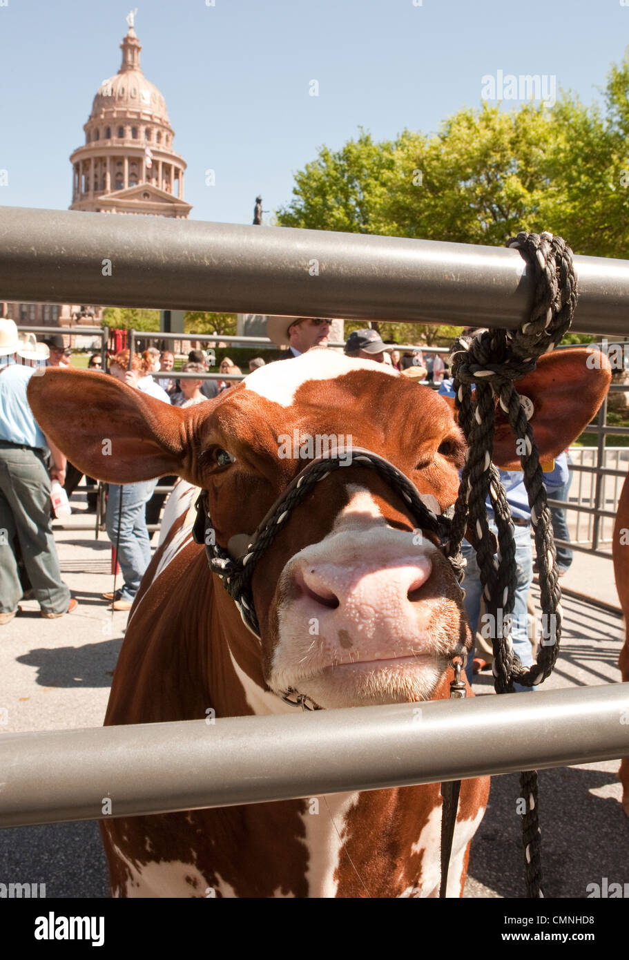 Contestants in the Grand Champion Steer event parade entries front of the Texas Capitol during the 75th anniversary - Stock Image