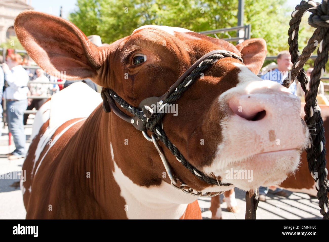 Close-up of white and brown spotted Grand Champion Steer at Star of Texas Rodeo in Austin - Stock Image