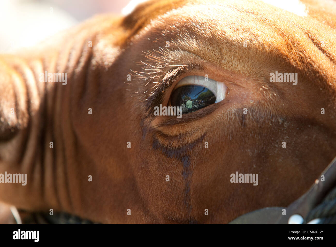 Eye close-up of  a Grand Champion Steer during rodeo competition in Austin Texas - Stock Image