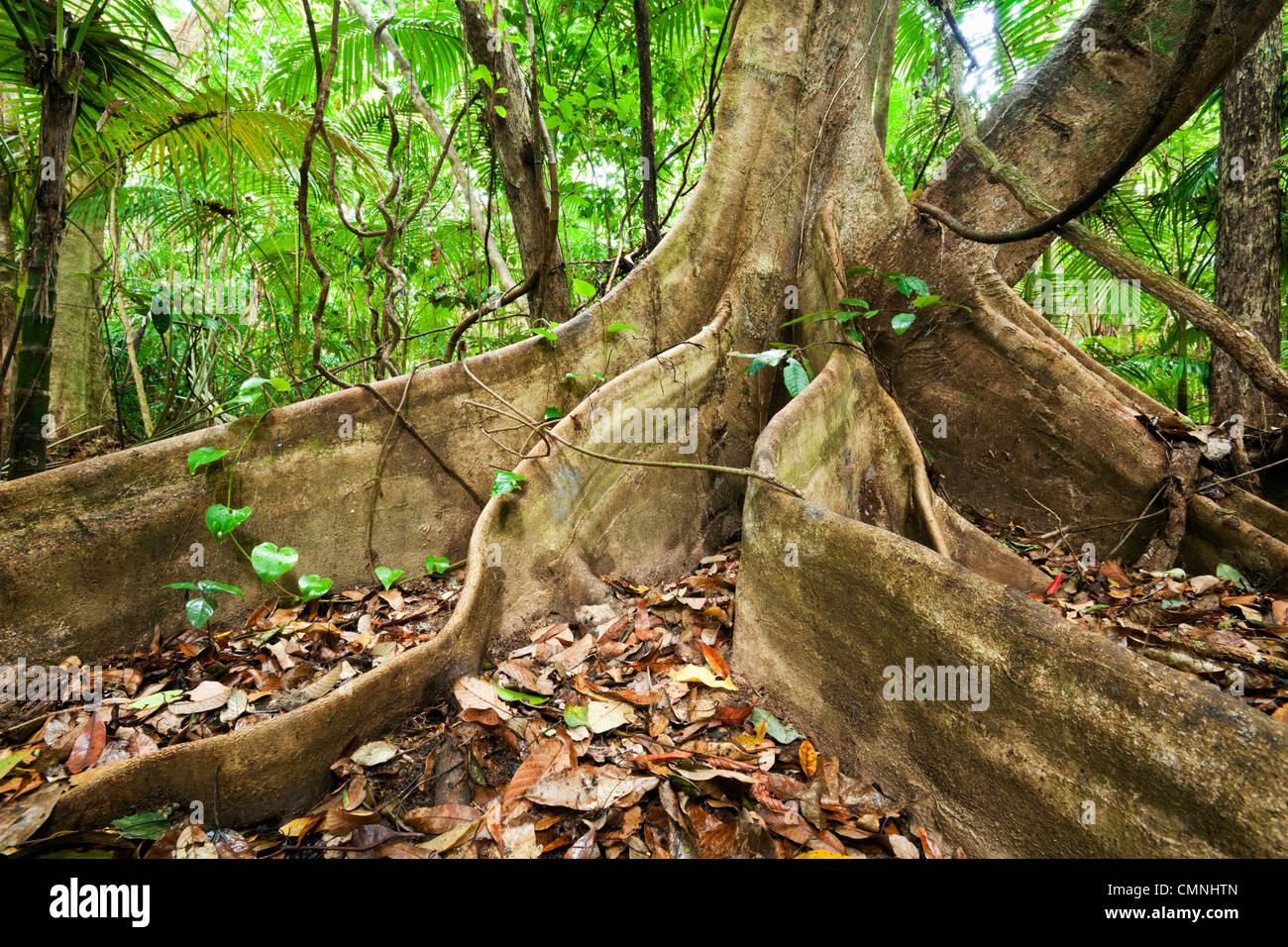 Butress roots of a rainforest tree. Daintree National Park, Queensland, Australia - Stock Image