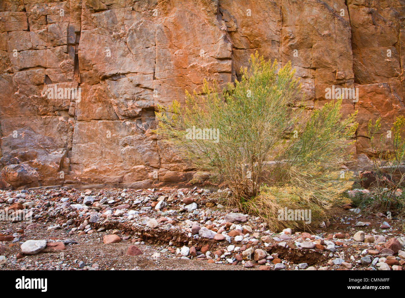 Desert brush against a red cliff in the inner gorge of the Grand Canyon. Monument Creek, Grand Canyon National Park, - Stock Image