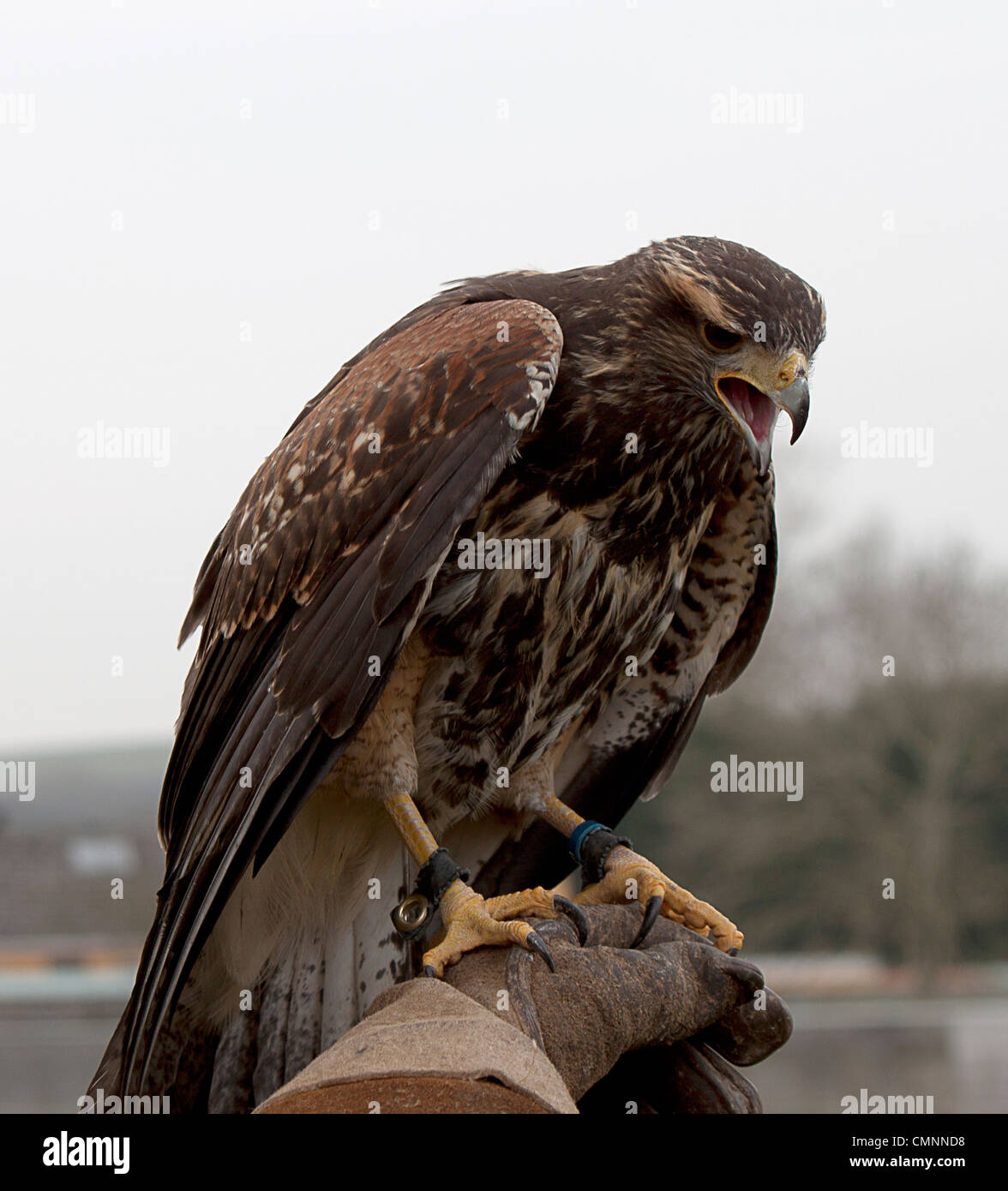 Harris Hawk, Parabuteo unicinctus, Accipitridae. Captive Bird. Falconry - Stock Image