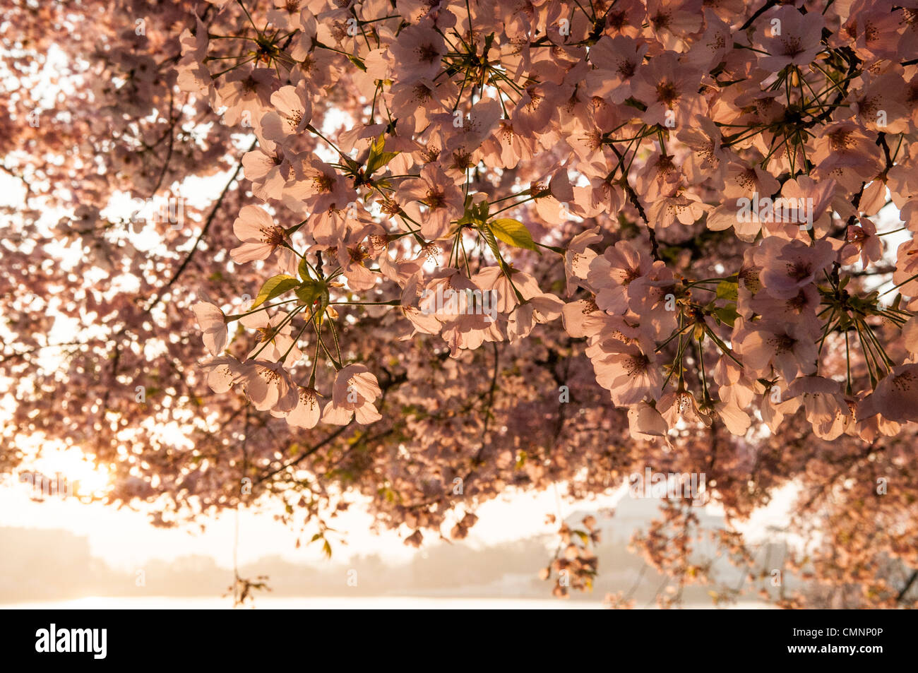 Pink cherry blossom flowers in the early morning sun. The Yoshino Cherry Blossom trees lining the Tidal Basin in - Stock Image