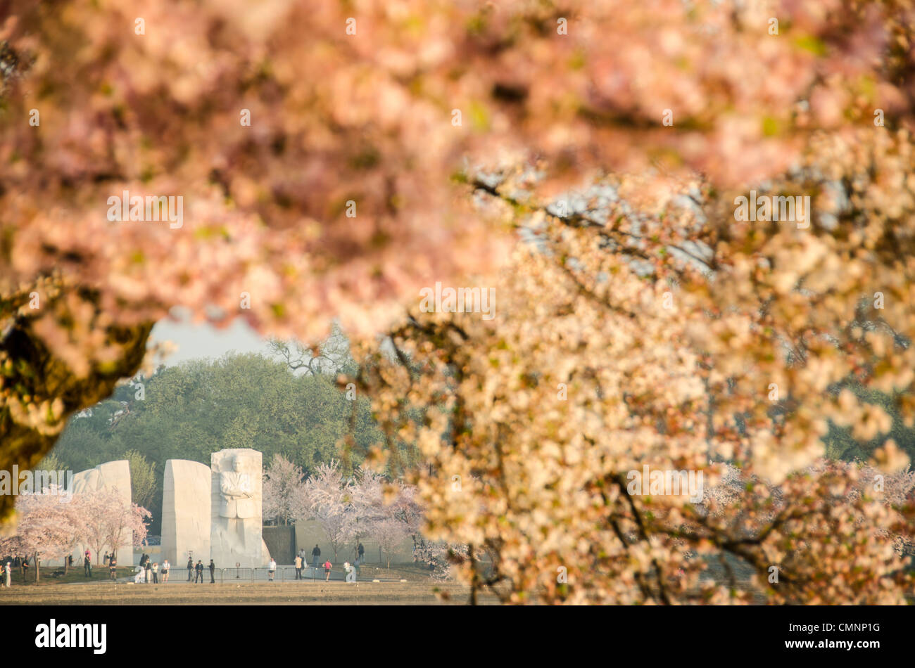 The Yoshino Cherry Blossom trees lining the Tidal Basin in Washington DC bloom each early spring. Some of the original - Stock Image