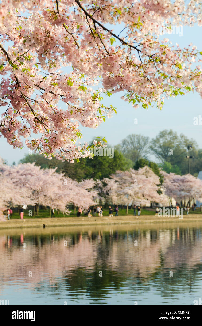 The cherry blossoms in bloom along the waterfront of the Tidal Basin. The Yoshino Cherry Blossom trees lining the - Stock Image