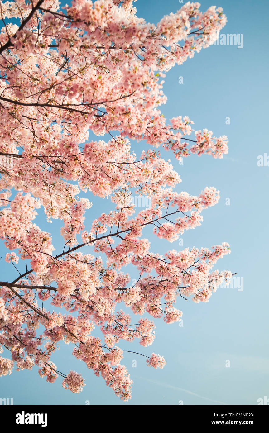 Pink cherry blossoms against a clear blue sky. The Yoshino Cherry Blossom trees lining the Tidal Basin in Washington - Stock Image