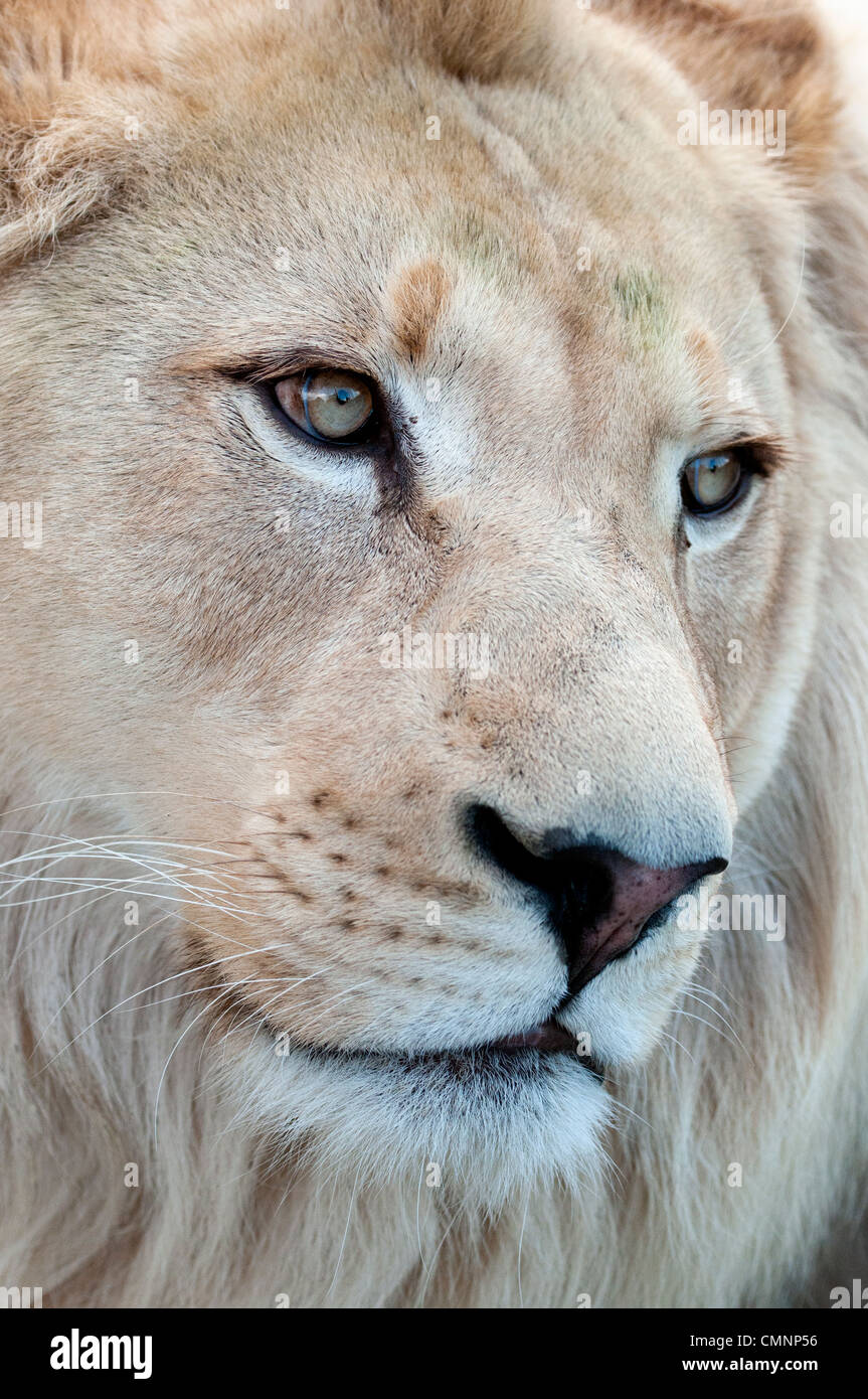 Male white lion (close-up) - Stock Image