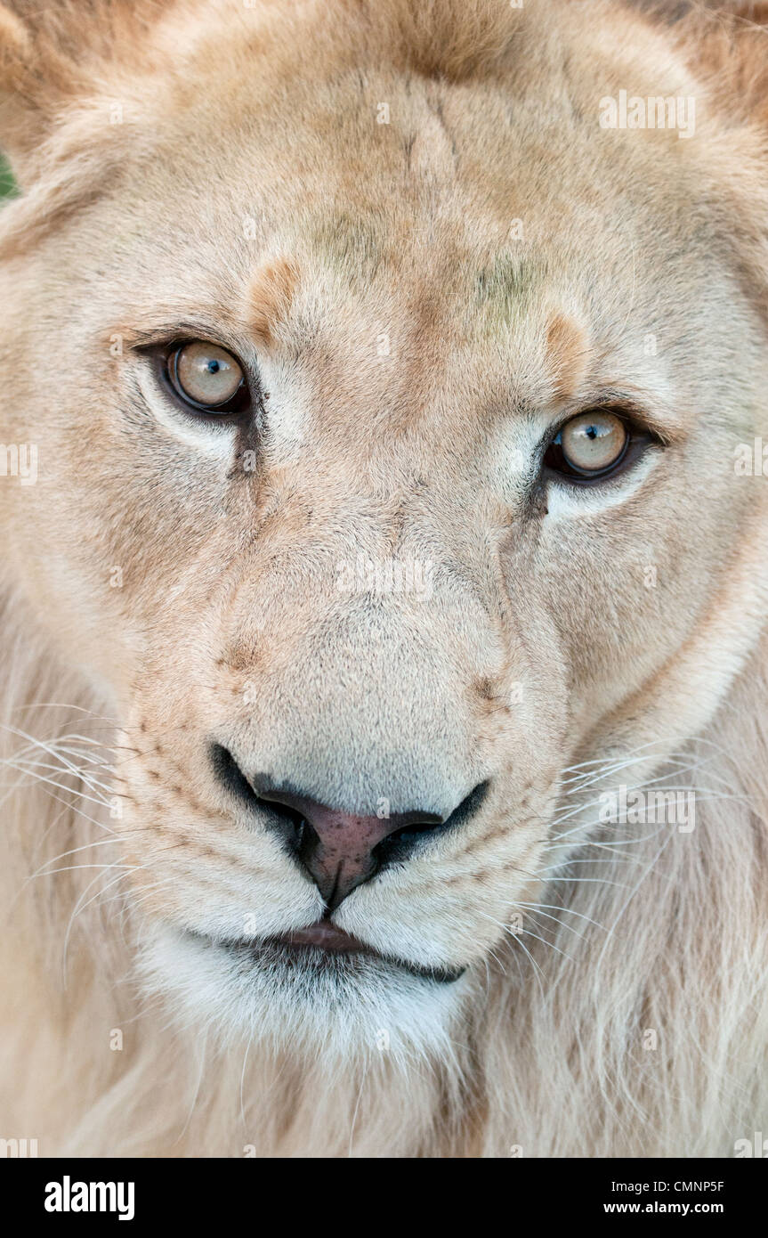 Male white lion looking into camera - Stock Image