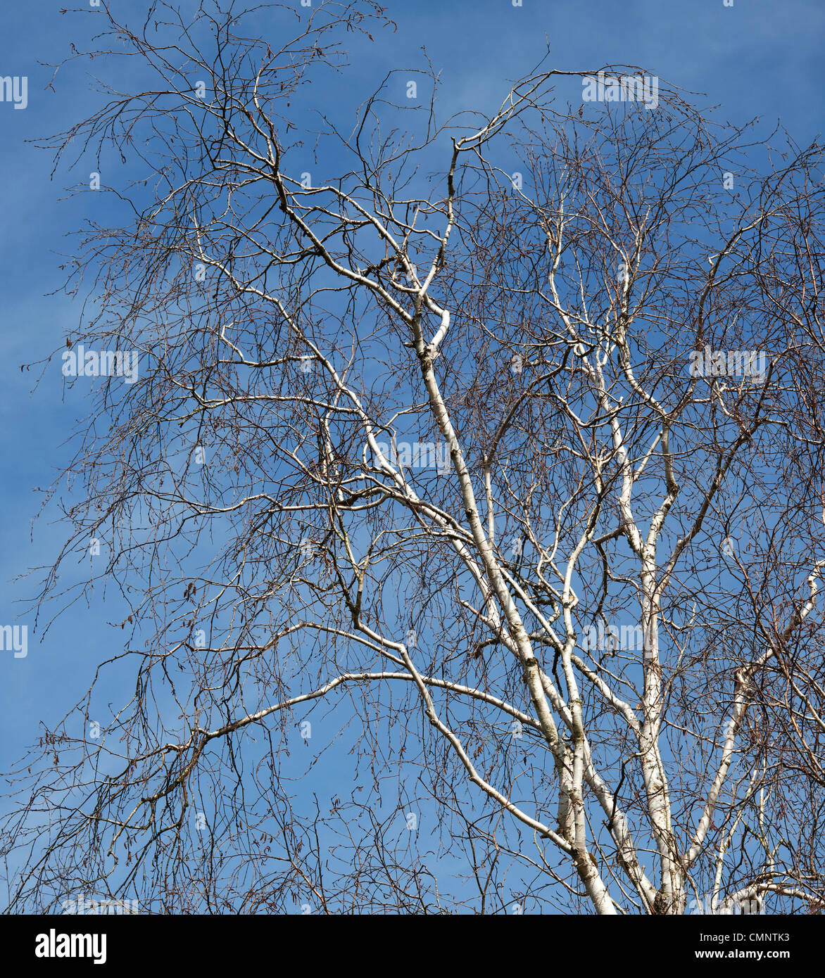 Betula x fetisowii . Silver Birch tree in the english countryside against a blue sky - Stock Image