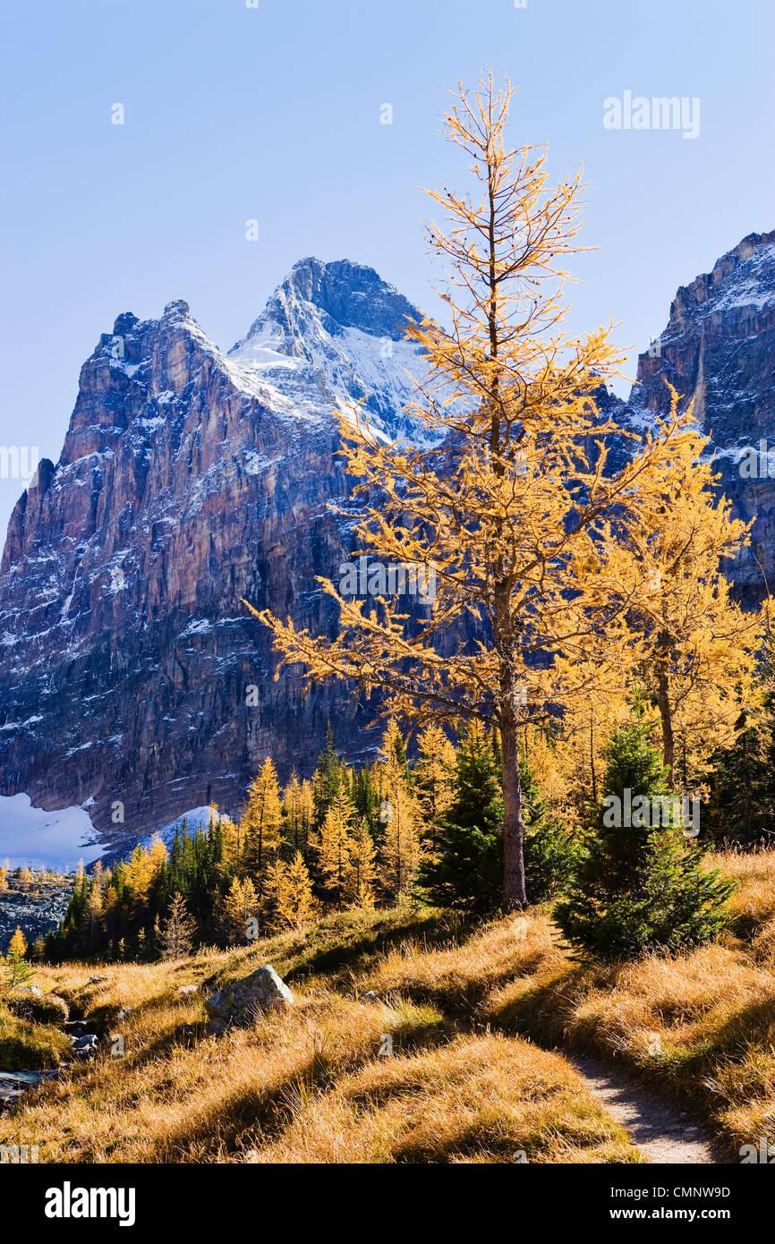 Trail Larch Trees And Mount Biddle Yoho National Park British Stock Photo Alamy