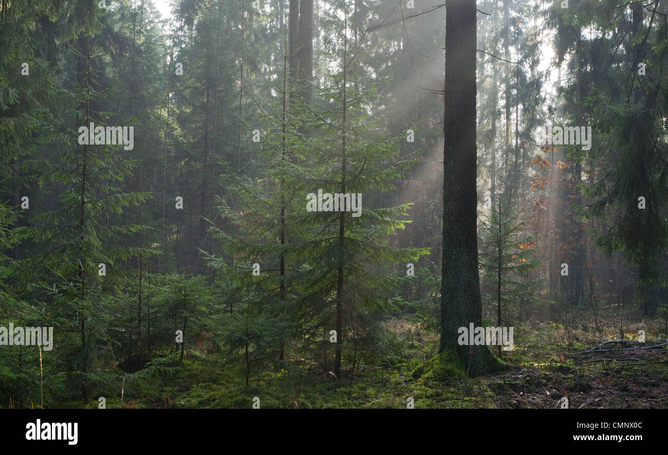 Misty late summer coniferous stand of Bialowieza Forest at sunrise with old spruces and young ones by left - Stock Image