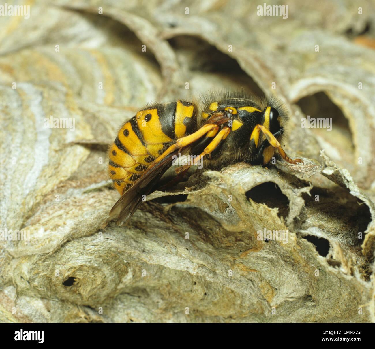 Common European wasp (Vespula vulgaris) queen hibernating on her nest in winter - Stock Image