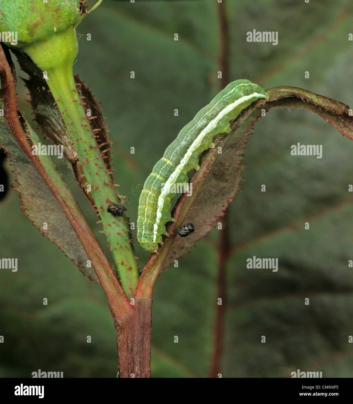 Clouded drab moth (Orthosia incerta) caterpillar on damaged rose flower bud - Stock Image