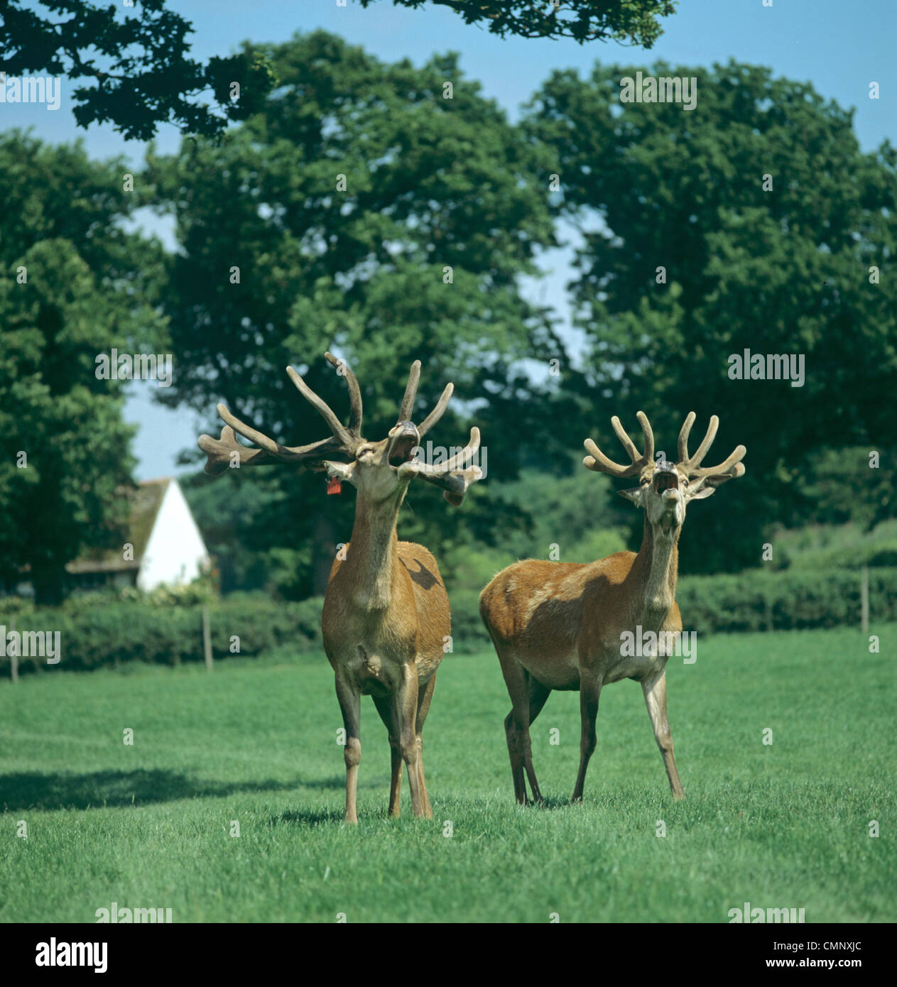 Mature master farmed red deer stags calling with mouths open and well formed antlers - Stock Image