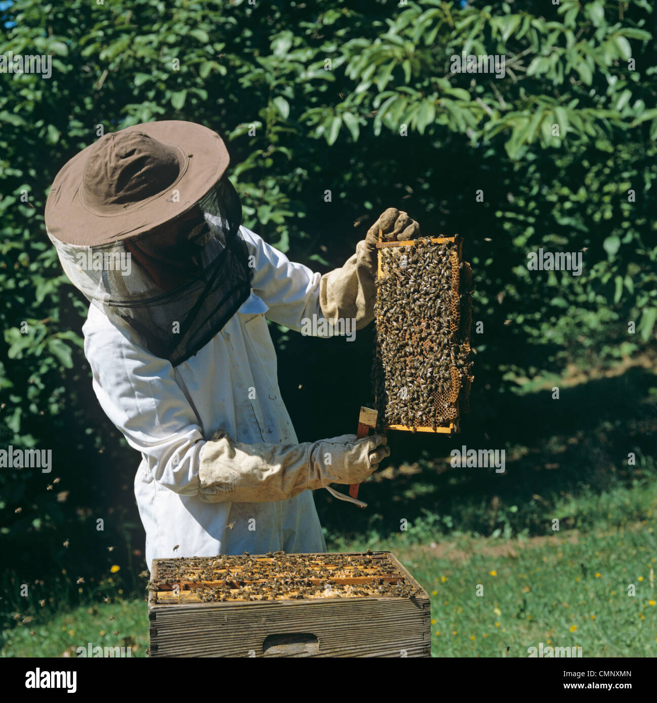 Beekeeper examining honey bee (Apis mellifera) brood frame from the hive - Stock Image