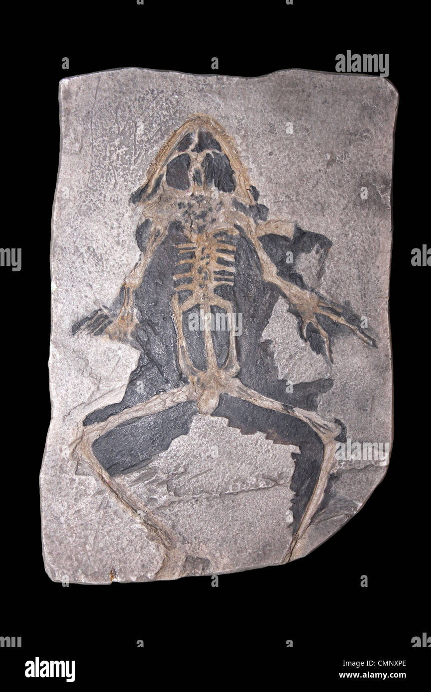 Fossil Model Of Rana pueyoi An Extinct Species Of Large Frog From Early Miocene of Spain - Stock Image