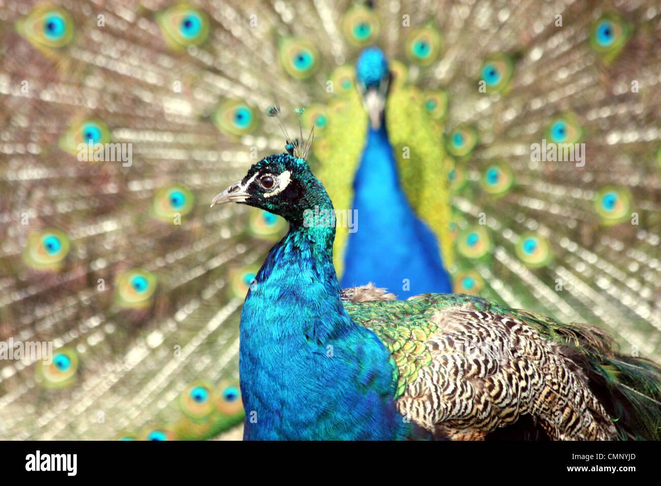 Blue Peacocks - Stock Image