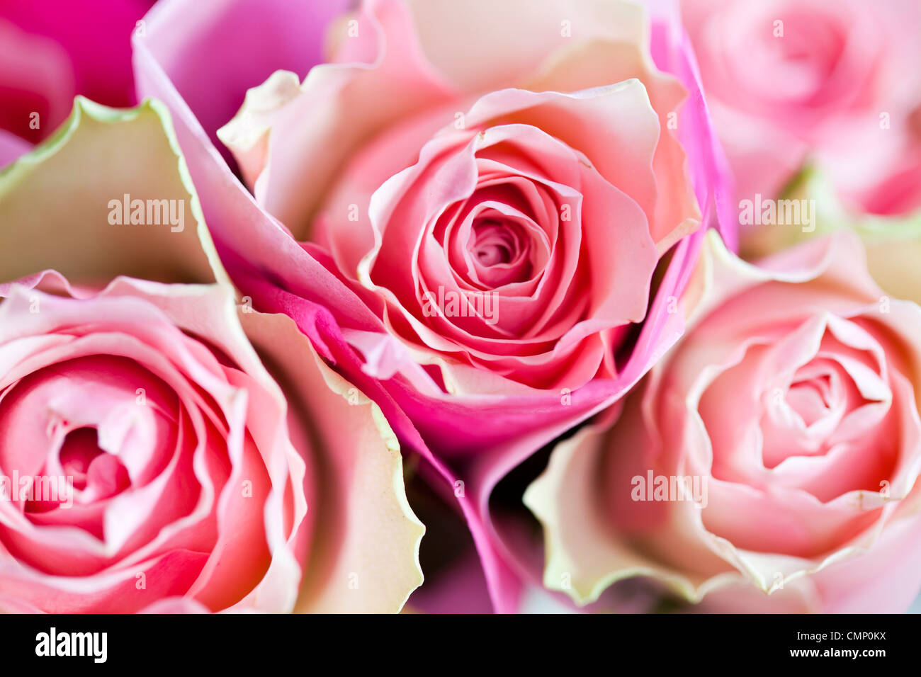 pink roses wrapped in tissue paper. - Stock Image