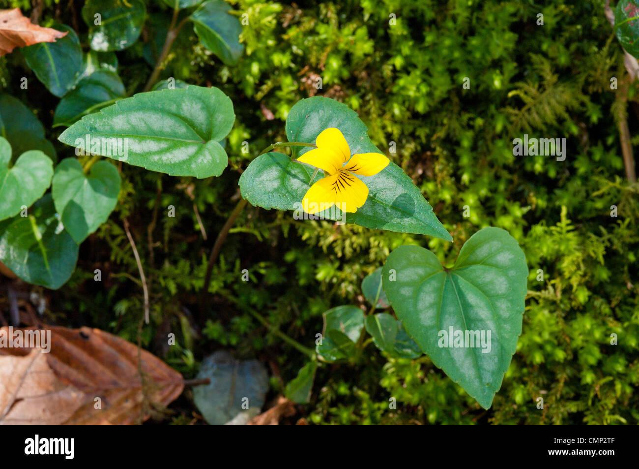 Halberdleaf Violet, Viola hastata, wildflower - Stock Image