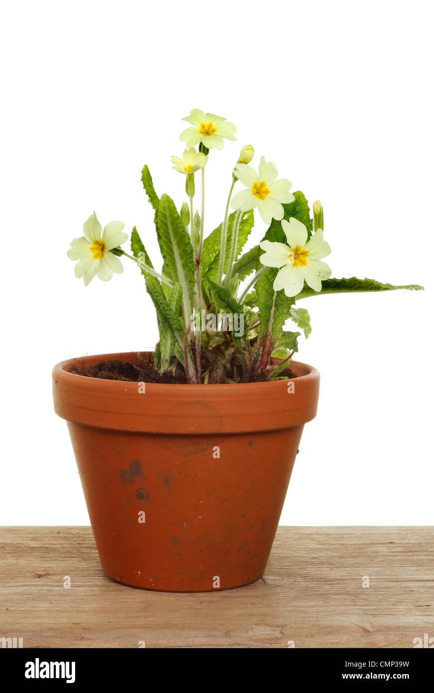 Yellow plant pot stock photos yellow plant pot stock images alamy primrose plant with pale yellow flowers in a terracotta pot on a wooden bench stock mightylinksfo