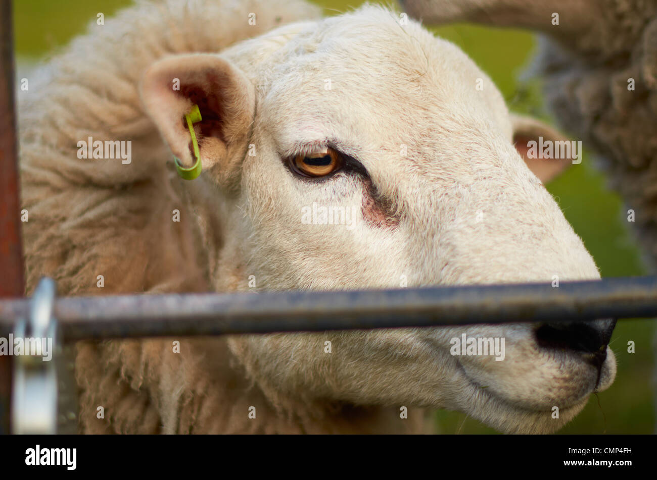 sheep behind a gate / fence. Stock Photo